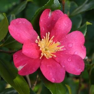 Camellia sasanqua 'Crimson King'