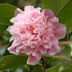 'Elizabeth Rose Open'