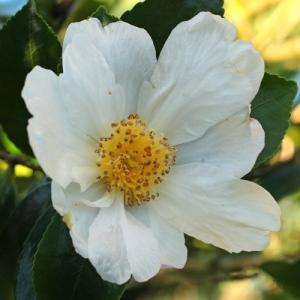 Camellia sasanqua 'Fragrans'