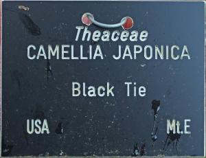 Camellia japonica 'Black Tie' (GG-002)