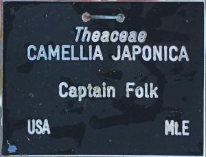 Camellia japonica 'Captain Folk' (GG-003)
