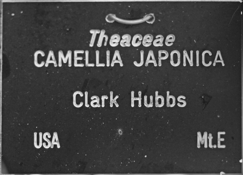Camellia japonica 'Clark Hubbs' (GG-004)