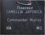 Camellia japonica 'Commander Mulroy' (GG-006)