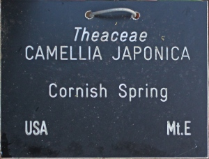 Camellia 'Cornish Spring' (GG-007)