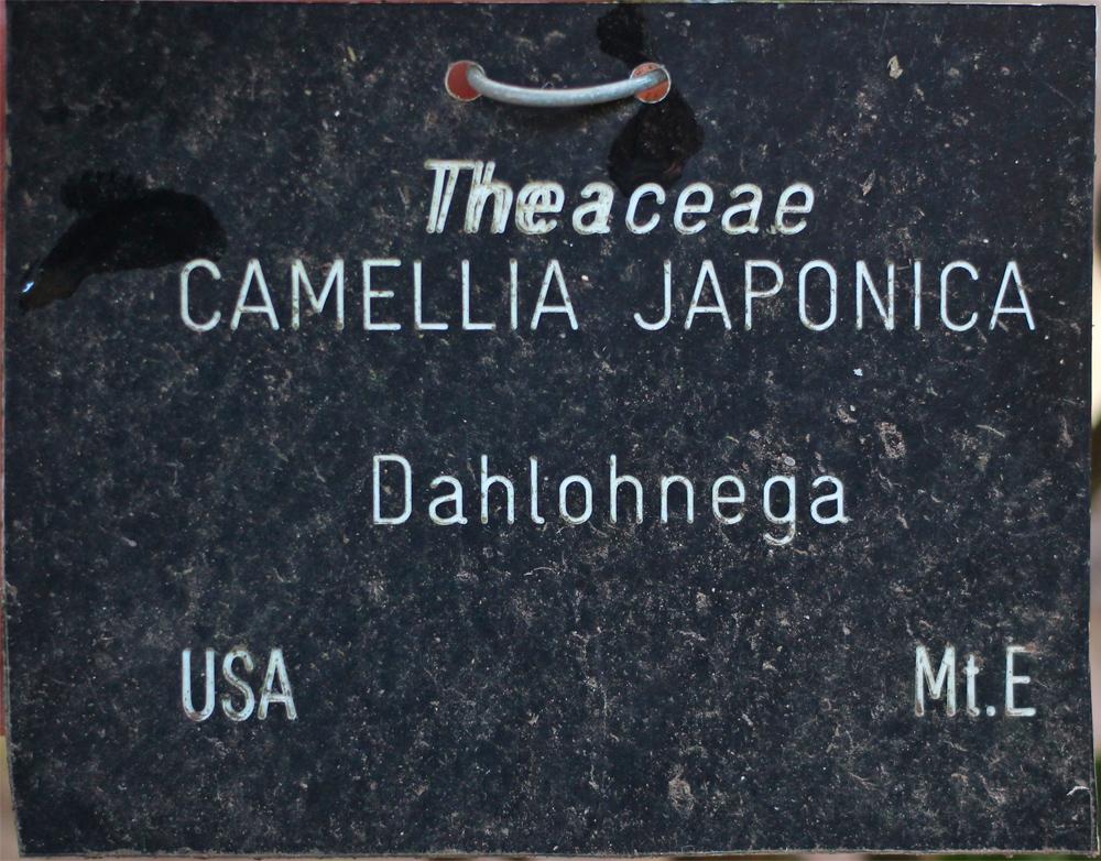 Camellia japonica 'Dahlohnega' (GG-008)