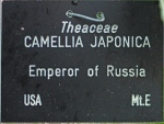 Camellia japonica 'Emperor of Russia' (GG-013)