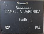 Camellia japonica 'Faith' (GG-014)