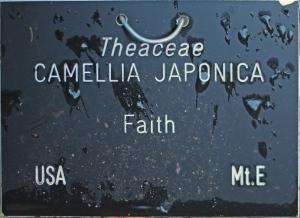 Camellia japonica 'Faith' (GG-015)