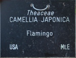 Camellia japonica 'Flamingo' (GG-016)