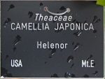 Camellia japonica 'Helenor' (GG-017)