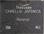 Camellia japonica 'Helenor' (GG-018)