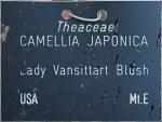 Camellia japonica 'Lady Vansittart Blush' (GG-023)