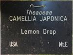 Camellia japonica 'Lemon Drop' (GG-024)