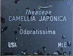 Camellia japonica 'Odoratissima' (GG-027)