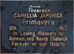 Camellia japonica 'Primavera' (GG-028)