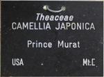 Camellia japonica 'Prince Murat' (GG-029)