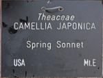 Camellia japonica 'Spring Sonnet' (GG-030)