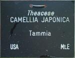 Camellia japonica 'Tammia' (GG-031)
