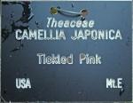 Camellia japonica 'Tickled Pink' (GG-032)