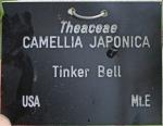 Camellia japonica 'Tinker Bell' (GG-034)