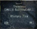 Camellia 'Winters Fire' (GG-035)
