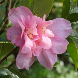 Camellia sasanqua 'Jennifer Susan'