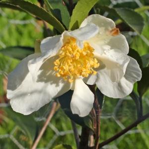 Camellia sasanqua 'Narcissiflora'