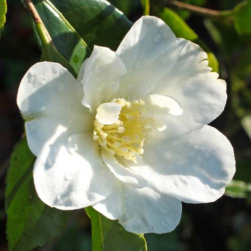 Camellia sasanqua 'Setsugekka'