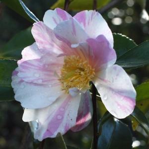 Camellia 'Souvenir de Claude Brivet'