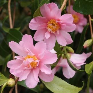 'Winter's Rose'