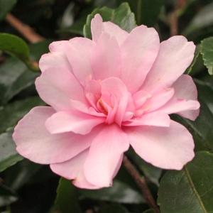 Camellia sasanqua 'Mignonne'