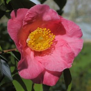 Camellia japonica 'California'