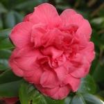 Camellia japonica 'Clara Green'