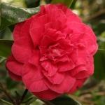 Camellia japonica 'Emmett Pfingstl'