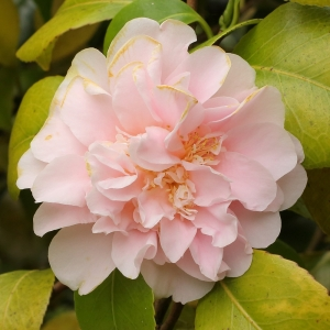 Camellia japonica 'Kings Ransom'