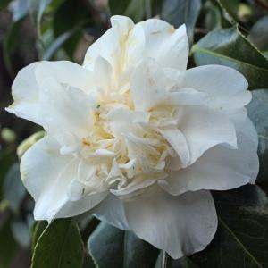 Camellia japonica 'Mary Costa'