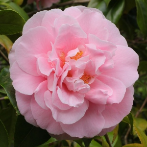 Camellia japonica 'Tiffany'