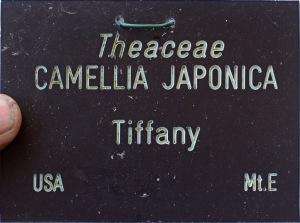 Camellia japonica 'Tiffany'
