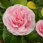 Camellia japonica 'Tomorrows Dawn'