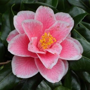 Camellia japonica 'Yours Truly'