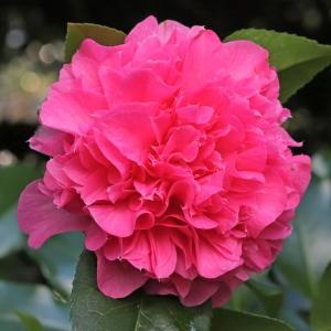 Camellia japonica 'Kumasaka'