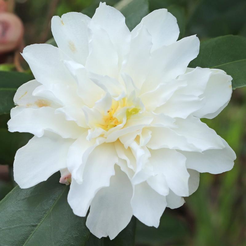 Camellia x vernalis 'Ginryû'