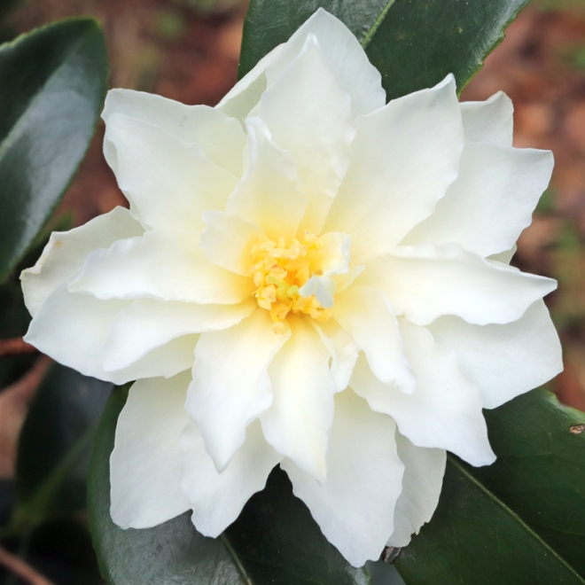 Camellia pitardii (erroneously)
