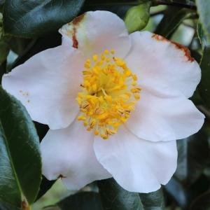 Camellia japonica 'Jennifer Turnbull'