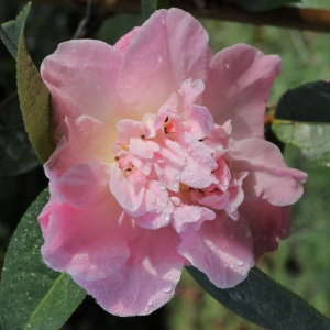 Camellia 'Blissful Dawn'