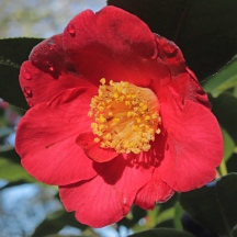 'Ludgvan Red'