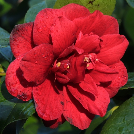 'Red Dahlia'