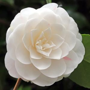 Camellia japonica 'Jenny Lind'