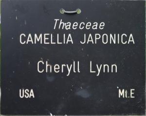 Camellia japonica 'Cheryll Lynn'