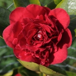 Camellia japonica 'Mrs Charles Cobb'